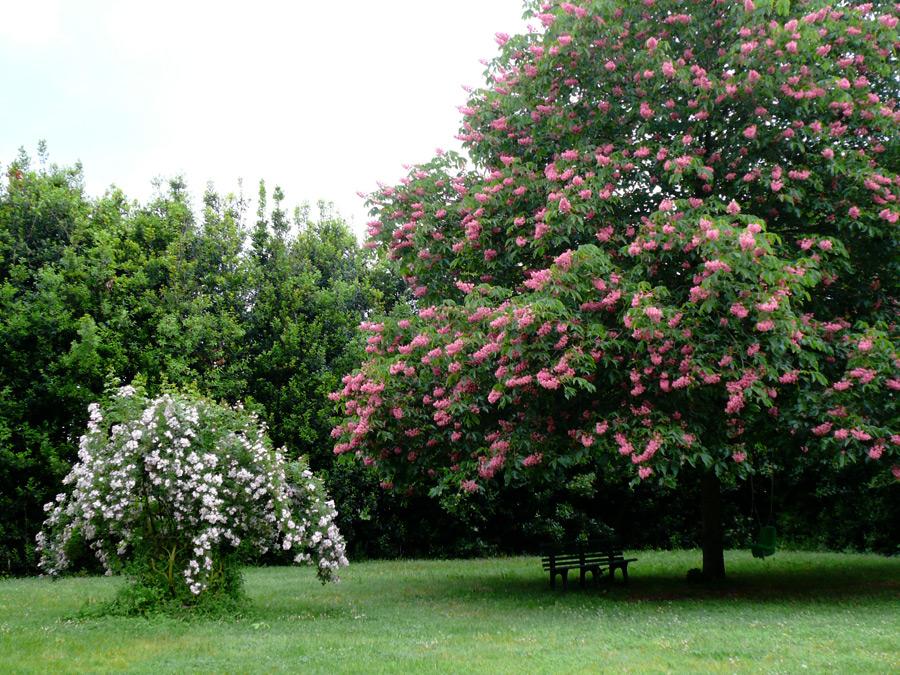 Il giardino delle rose antiche rose del bufalo - Giardino con rose ...