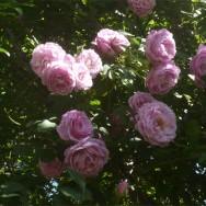 """Rosa """"Luna n. 2"""""""