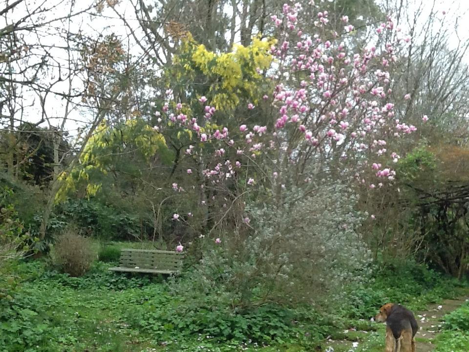 2 Magnolia_soulangiana_e_minosa_Claire de Lune_Marzo