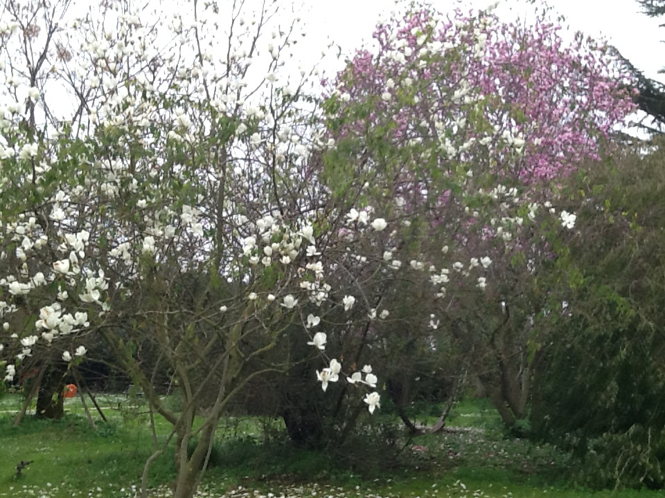 5 Magnolia_yulan_o_denudata_e_Magnolia_Burgundi