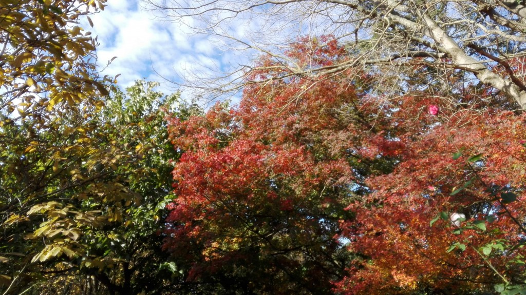 Acer Palmatum Japponicum