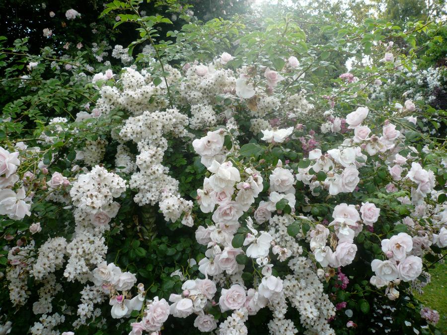 Rose del bufalo maresa del bufalo e il giardino delle rose antiche di valleranello - Il giardino delle rose ...
