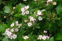 rosa-govinda-2
