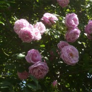 rosa-luna-1