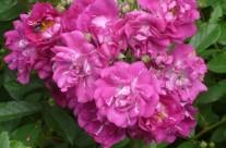 rosa-fineschi-2