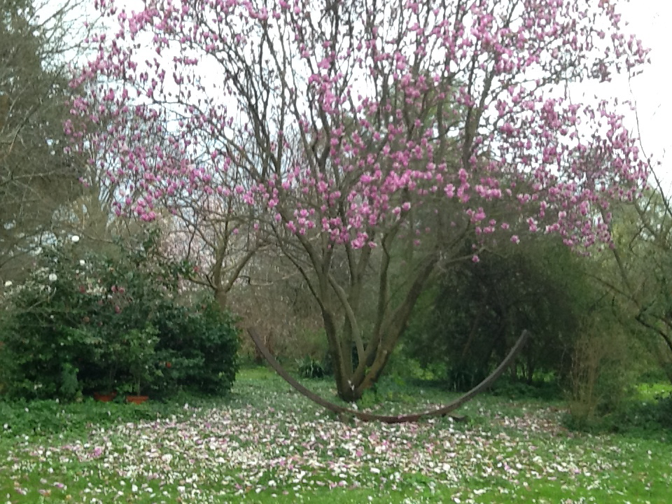 1 Magnolia_soulangiana_Burgundi_Marzo