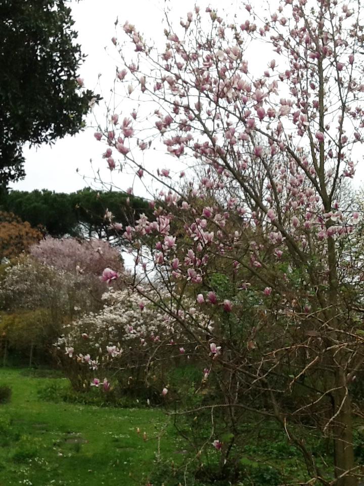 6 Magnolia_soulangiana_e_Magnolia_stellata_bianca