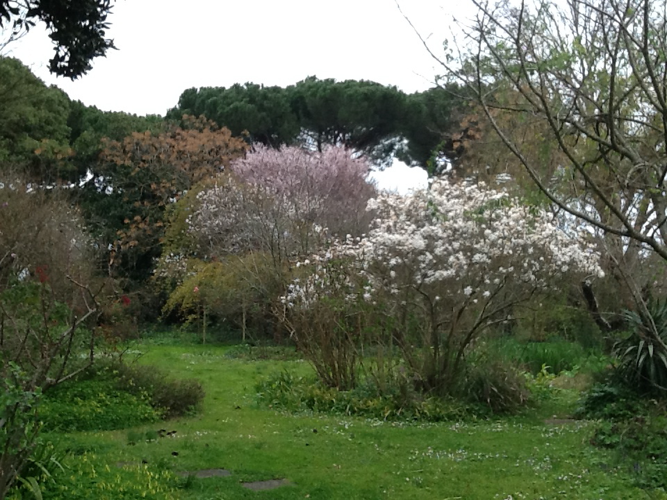 7 Magnolia_stellata_bianca_e_Prunus_da_frutto
